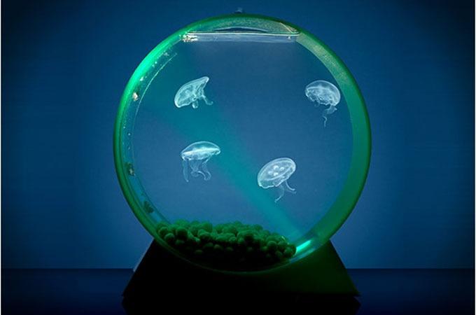 Medium_eyllvrqwmy3dfmtjm5ahugkwaalymqw6torafsum5d8_jellyfishtank